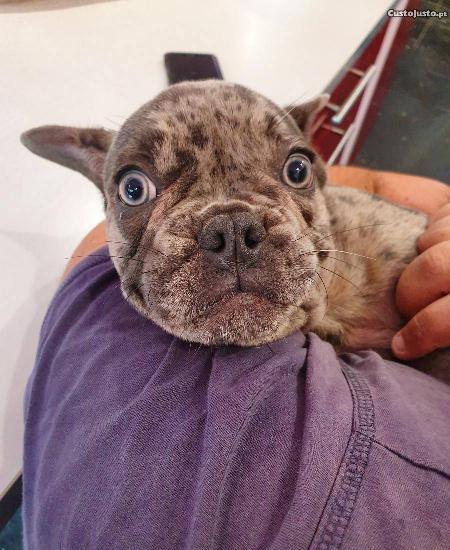 Bulldog frances blue merle lilac