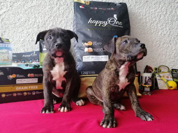 American pitbull terrier blue nose preço especial está
