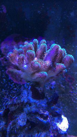 Coral água salgada pocilopora
