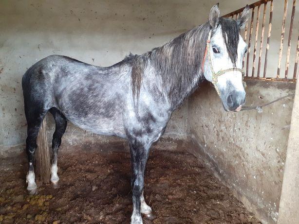 Vende-se cavalo com 6 anos tem livro verde