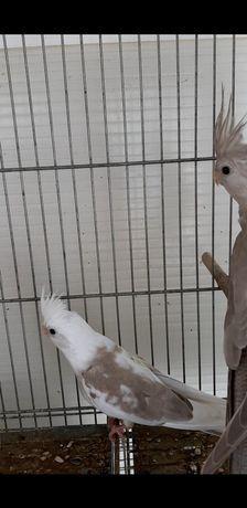 Caturras Perola Face Branca Animais Marco Clasf
