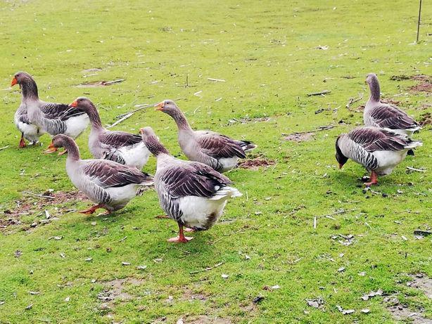 Ovos galados de ganso cinza