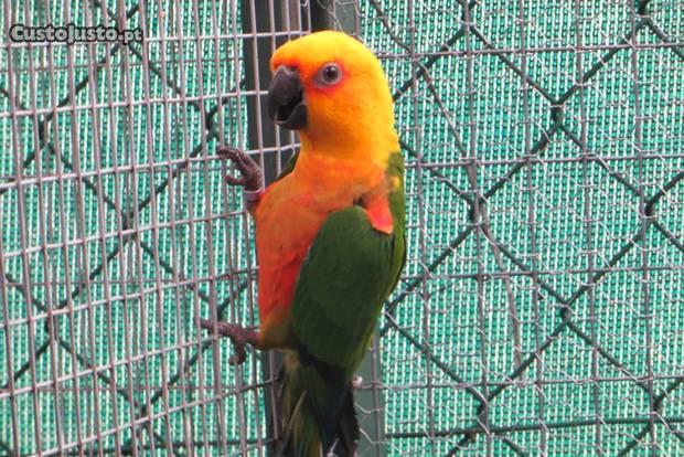 Aratinga jandaya (macho reprodutor)