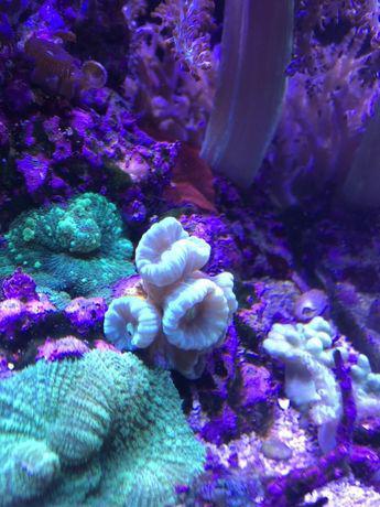 Coral de água salgada caulastrea curvata