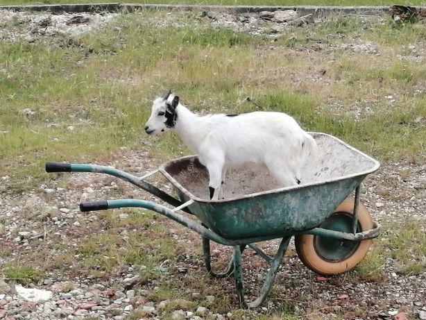 2 cabras anãs (não aceito mb way)