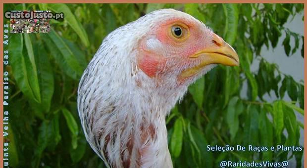 Ndios brasileiros top (pai + 1m e galinhas gig)