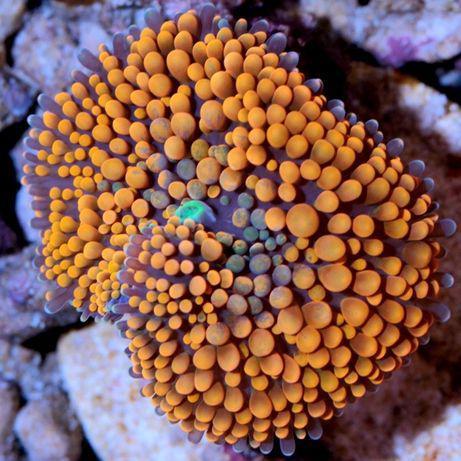 Coral mole agua salgadaricordias