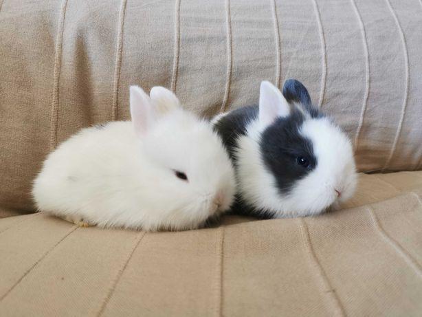 Kit completo coelhos anões, envio para todo o país