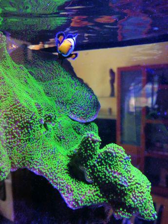 Coral de água salgada