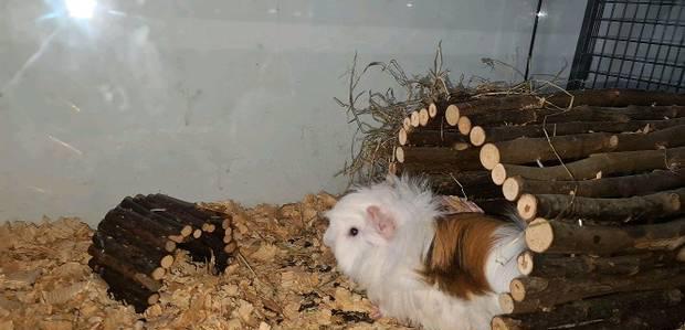 Gaiolas decorações (coelha,porco da india)