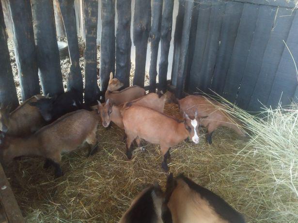 Cabras anãs domésticas
