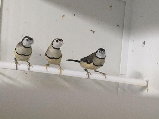 Diamantes papagaio/sparrows/bichenov/babete