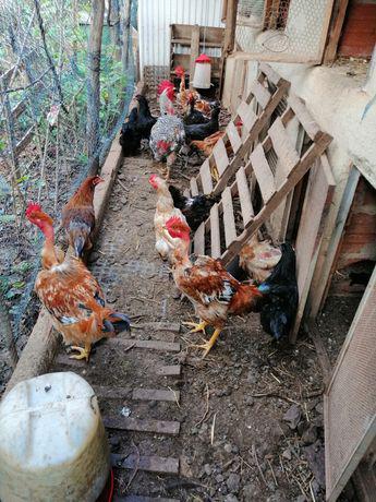 Frangos, galinhas, galos saloios