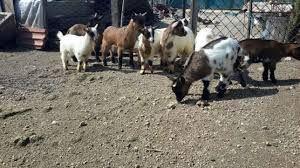 Cabras anãs ** machos e fêmeas **
