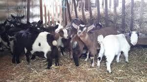 Cabras anãs *machos & fêmeas*