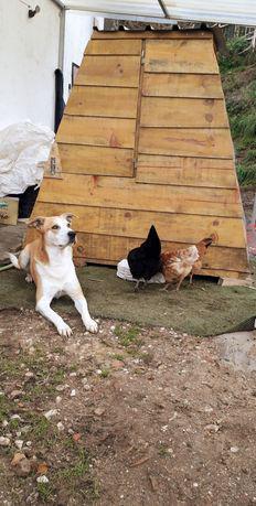 Novo!!! galinheiro abrigo casota galinhas perdizes