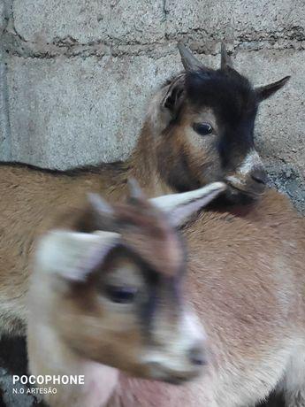 Cabras anãs com 3 meses