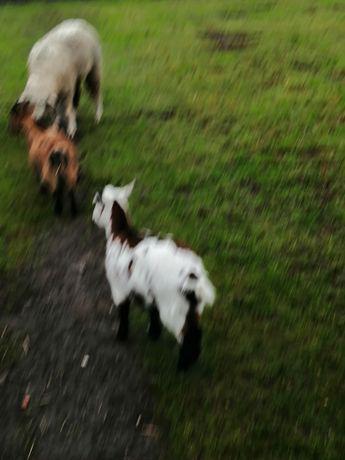 Cabras anãs para venda