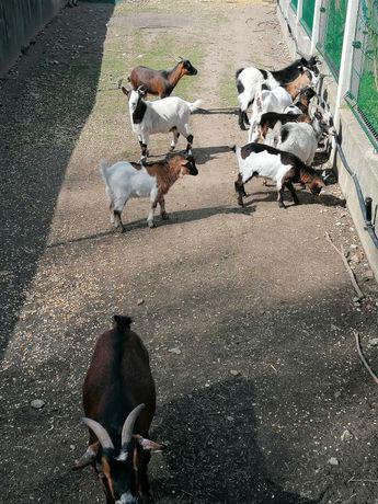 Cabras anãs machos