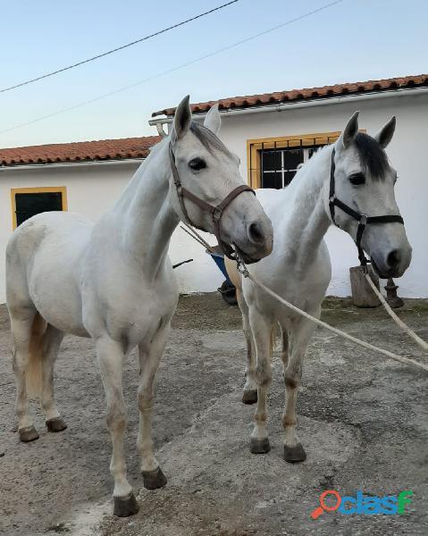 Parelha de cavalos