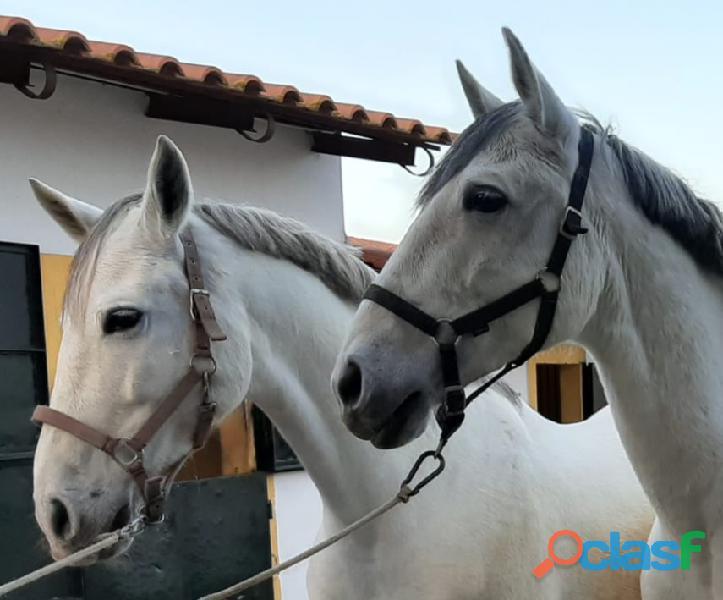 Parelha de cavalos 1