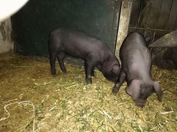 Leitoes de porco preto