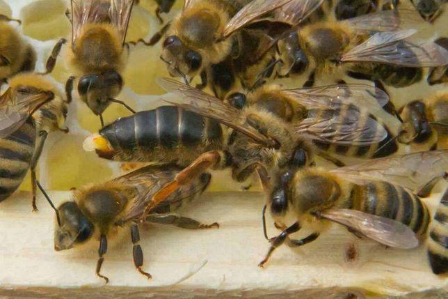 Abelhas rainhas virgens seleccionadas de boa estirpe a 4,50