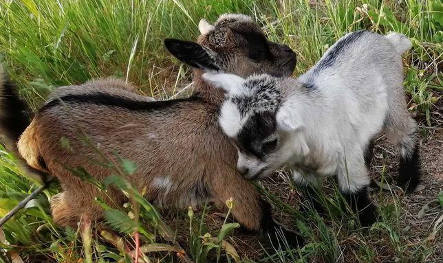 Cabras anãs lindas e domesticadas