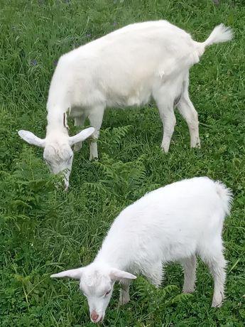 Cabras mãe e filha