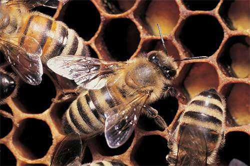 Recolho/capturo enxame de abelhas