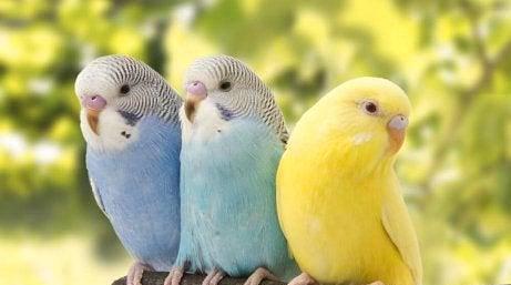 Periquitos adultos e novos várias cores