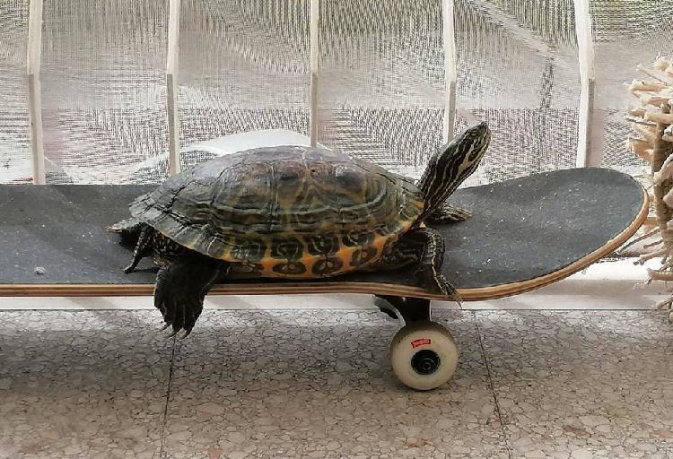 Tartaruga aquática fêmea