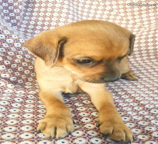 Cachorrinha cruzada de pincher