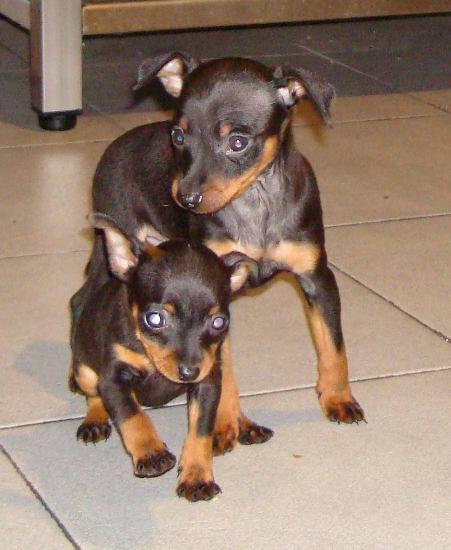 Cão de raça pequena indeterminada Anão / Miniatura